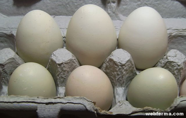 cornish-eggs