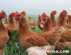 Респираторные заболевания цыплят