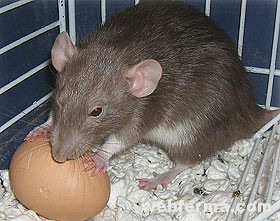 Может ли крыса таскать куриные яйца