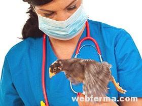 Что делать если болеют цыплята микоплазмоз у цыплят