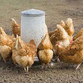 Кормление кур-несушек в условиях малых и средних хозяйств
