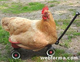 Что делать, если цыплята бройлеров падают на ноги?