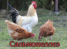 Сальмонеллез у кур и домашней птицы: особенности и лечение