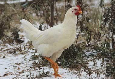 Каталог всех пород кур: поиск по характеристикам