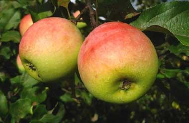 Яблоки северный синап описание