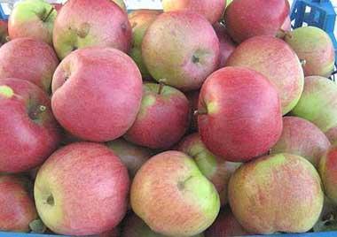 Яблони сорта