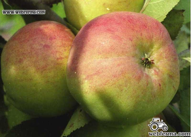 болотовское яблоко фото
