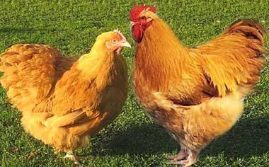 Выгодные кроссы кур для производства мяса и яиц