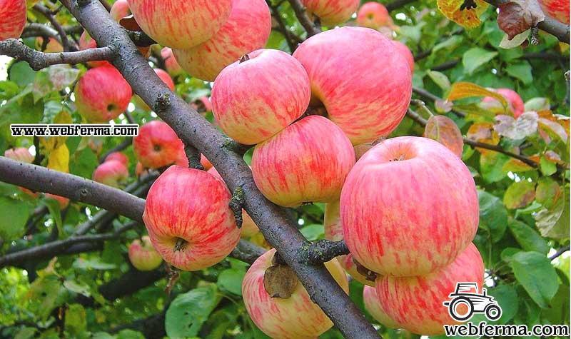Яблоня Мельба — когда созревает, описание и опылители яблок