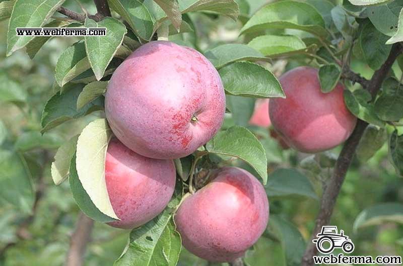 Высота яблоня подарок графскому 29