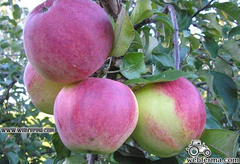 сорт уэлси яблоня отзывы
