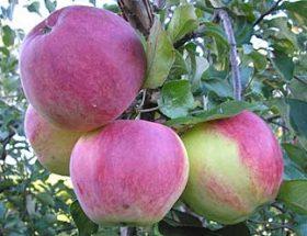 Уэлси - особенности яблони
