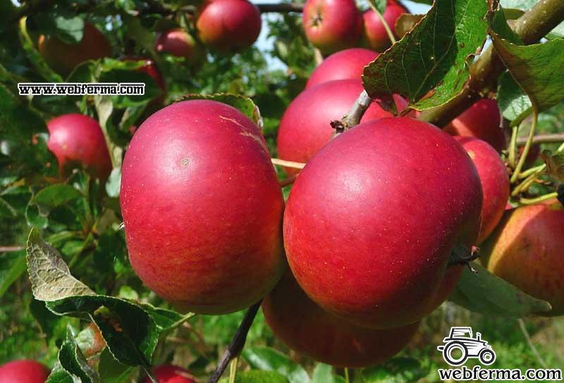 Яблоня Услада - описание и подробные характеристики