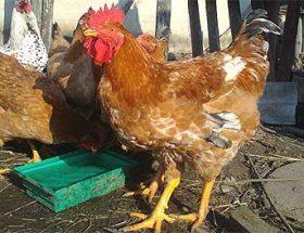 Венгерский великан: выгодная порода кур
