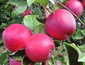 Веньяминовское - новый сорт яблок