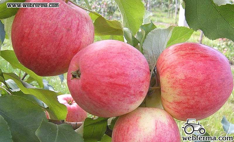 Сорт яблони Медовая или Медуница плюсы и минусы летнего сорта обрезка уход