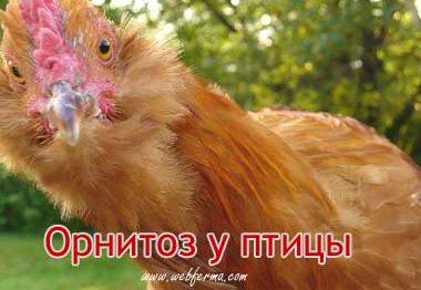 Орнитоз у домашних птиц