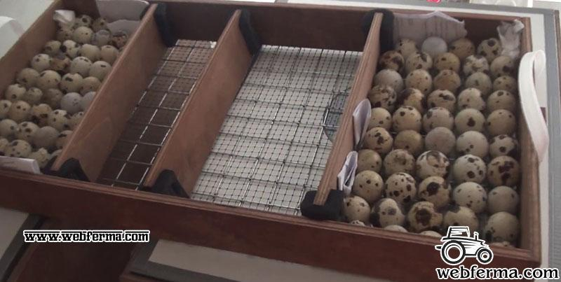 Что нужно знать для успешной инкубации яиц перепелов в домашних условиях