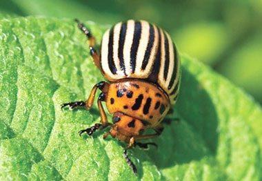 Колорадский жук: как успешно бороться, обзор препаратов
