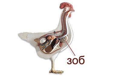 Болезни зоба у птицы - полный путеводитель